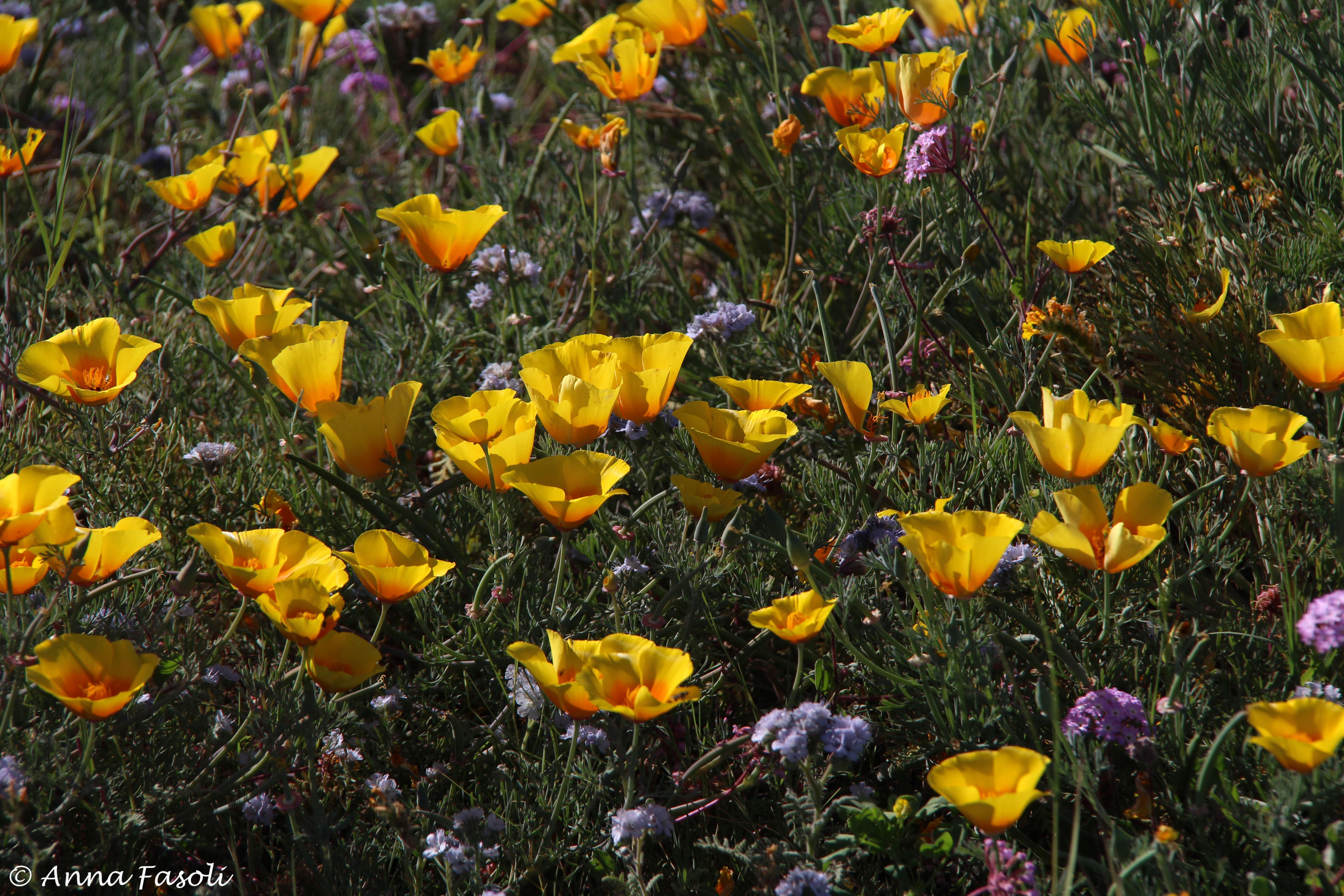 California poppy (Eschscholzia californica), Santa Rosa Island
