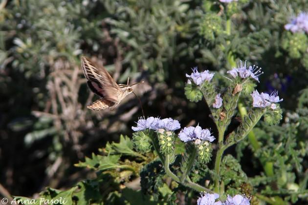 White-lined-Sphinx Moth feeding on Cleveland's cryptantha (Cryptantha clevelandii), Santa Rosa Island