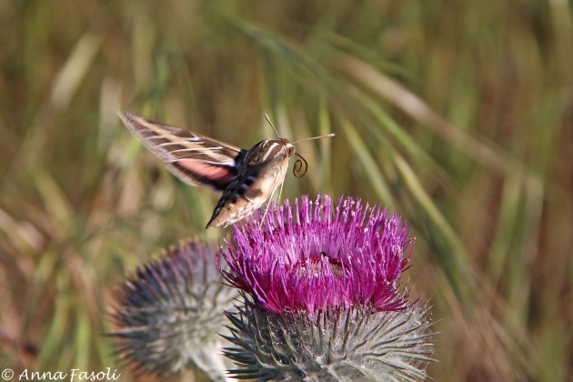 White-lined-Sphinx Moth feeding on Cobwebby thistle (Cirsium occidentale), Santa Rosa Island