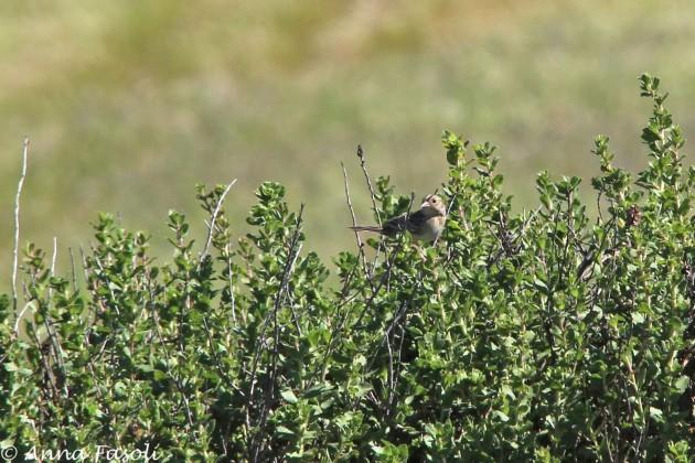 Grasshopper Sparrow, Santa Rosa Island