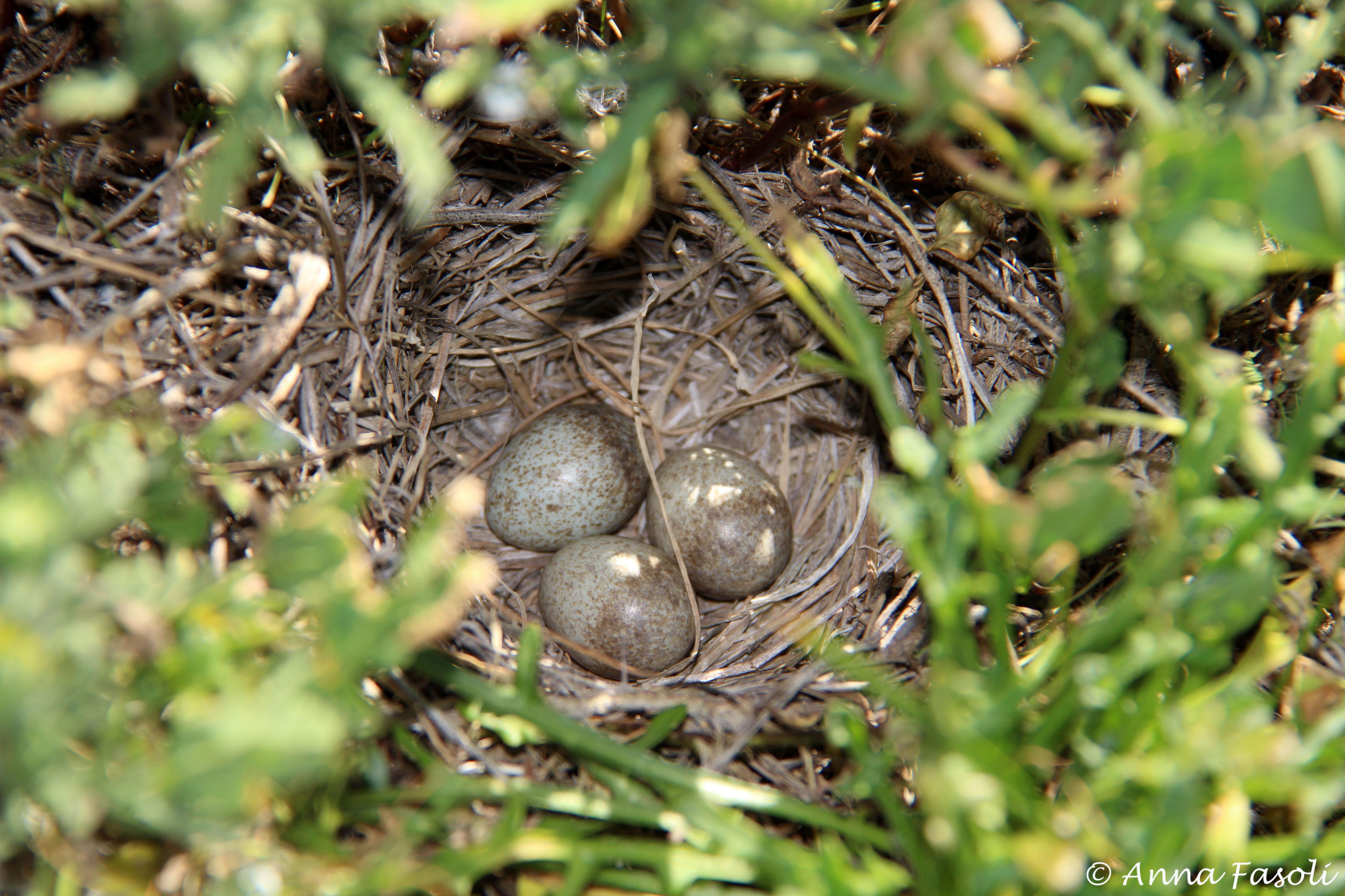 Horned Lark eggs