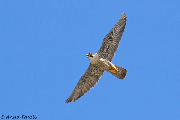Peregrine Falcon - female, Gnoma Territory, Santa Rosa Island