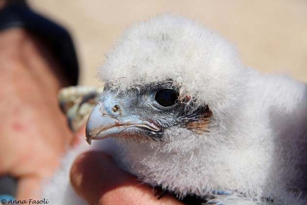 Peregrine Falcon chick from Carrington eyrie, about 20 days old - Santa Rosa Island