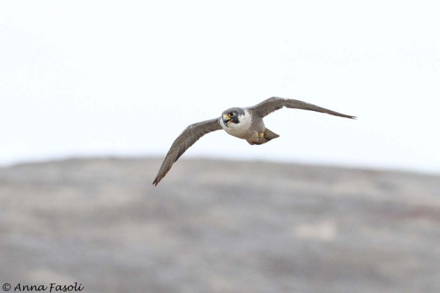 Orrs Camp peregrine on the scene