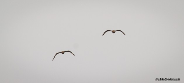 Two Skuas flying right at us! [Photo by Luke Musher]
