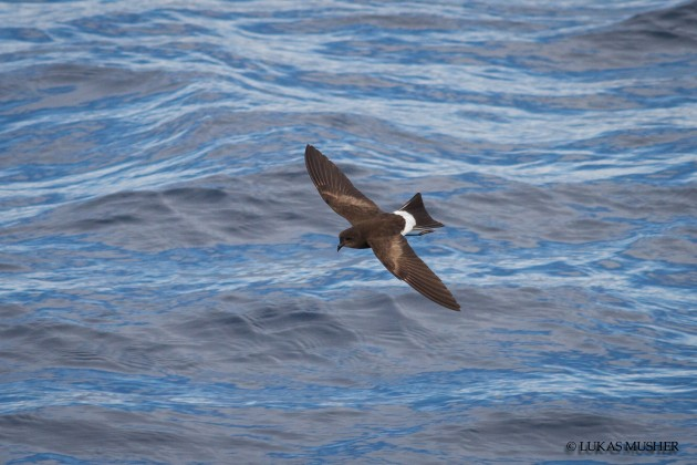 Wilson's Storm-Petrel [Photo by Luke Musher]