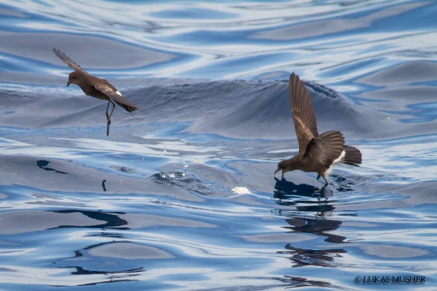 Wilson's Storm-Petrels can actually take the oil right from the surface of the water. You can see this one feeding on the oily sheen.