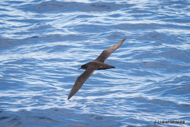 A Sooty Shearwater coming into the slick. [Photo by Luke Musher]