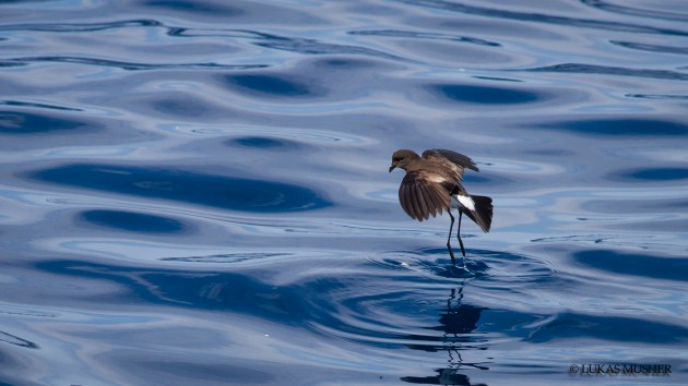 A Wilson's Storm-Petrel dancing in the slick [Photo by Luke Musher]