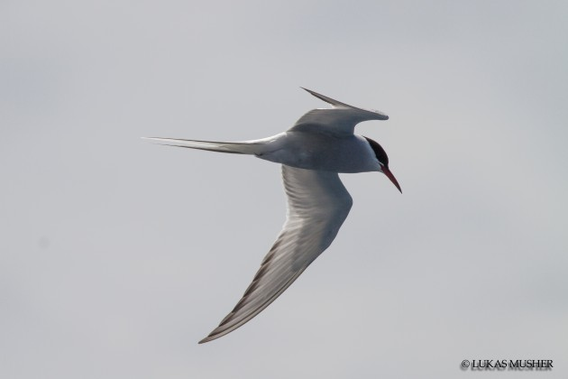 Arctic Tern [Photo by Luke Musher]