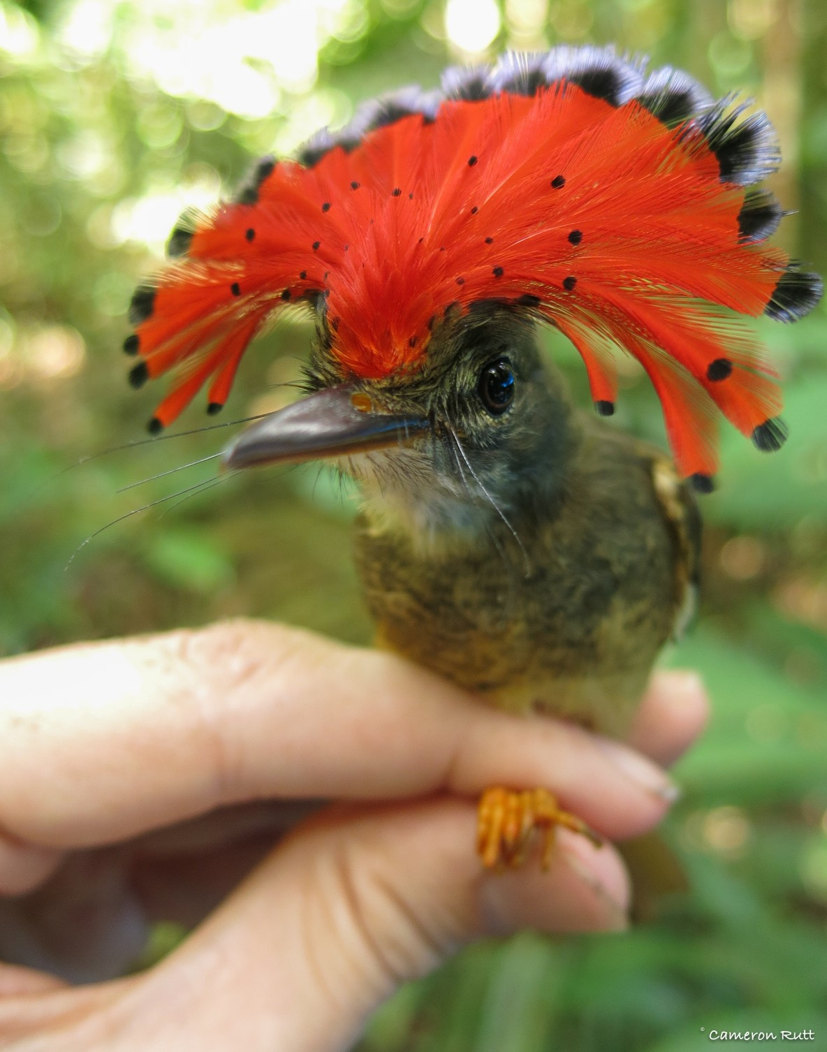 Amazonian Royal Flycatcher, male, held by Cameron Rutt of Nemesis Bird