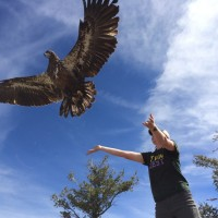 Emily Abernathy releases some pure America in the form of a Bald Eagle.