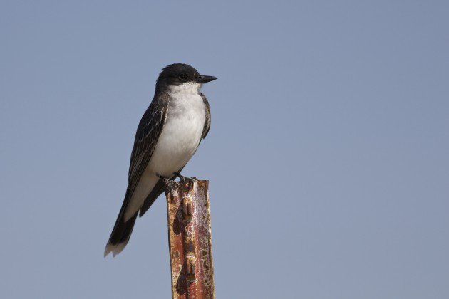 Regardless of how common they are, or how many I have seen, or where it is that I see them, Eastern Kingbirds are the captains of any avian all-star team—they're tough to beat. Seedskadee NWR, Wyoming, 6/29/15.