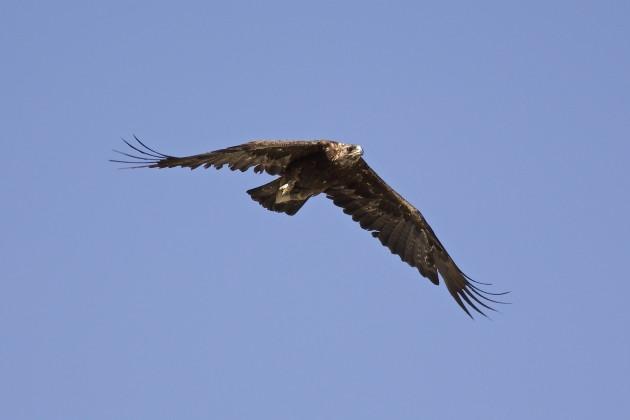Golden Eagle, Seedskadee NWR, Wyoming, 6/29/15.