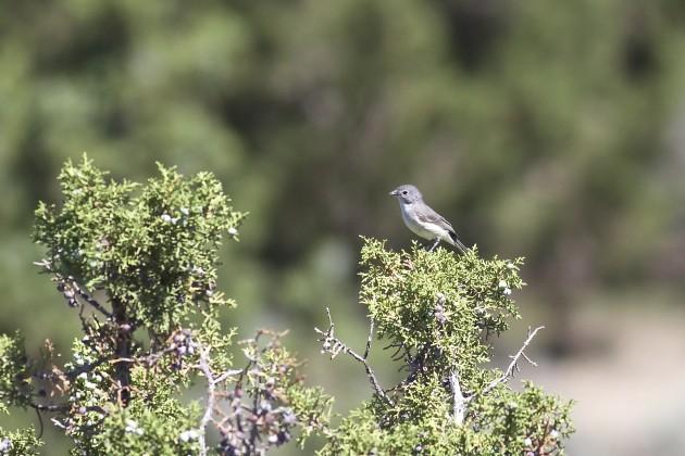 Gray Vireo, Soldier Pass Rd., Utah, 6/17/15