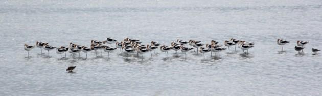 Group of American Avocets, DE. Photo by Steve Brenner