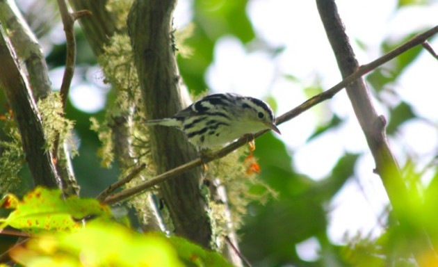 My first black-and-white warbler in Rhode Island. While I've seen tons of this species before, these guys are still incredible. (Rhode Island, 2015 - photo by Steve Brenner)