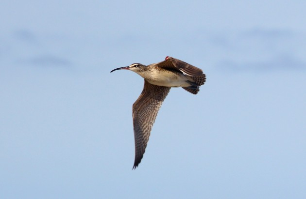 Back in Buffalo, this Whimbrel would be RBA worthy. Here in RI, it's no biggie. But still awesome. (photo by Steve Brenner)