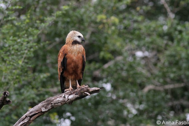 Black-collared Hawk - adult; Crooked Tree Wildlife Sanctuary, Belize