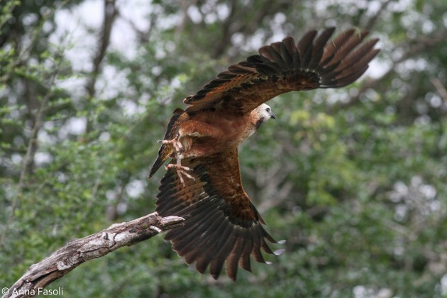 Black-collared Hawk - adult; note mostly black flight feathers contrasting with mottled rufous body and light head