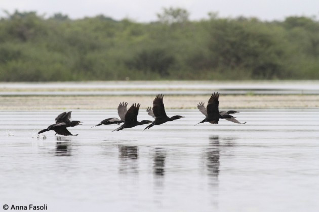 Neotropic Cormorants taking flight over Crooked Tree marsh