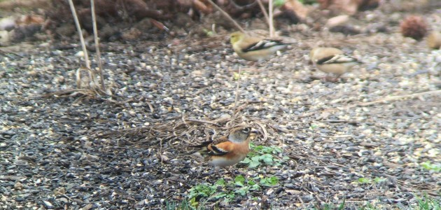 Brambling at Allardale Park in Medina County, Ohio on 30 December 2015. Digiscoped with a iPhone 6 Plus + Vortex Optics Razor HD 20-60x85 & Phone Skope Adapter.