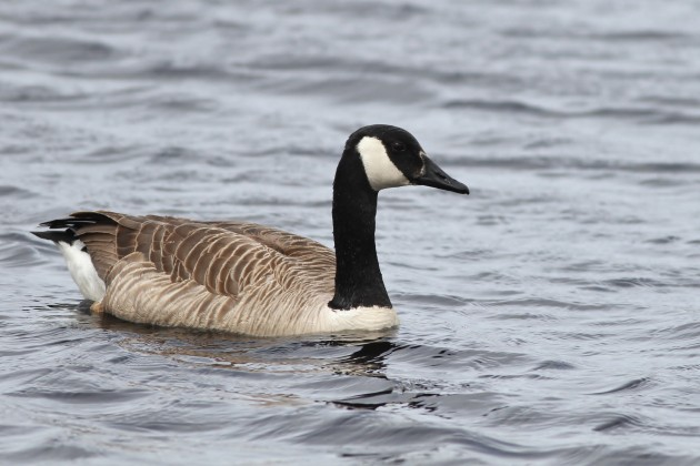 Canada Goose (Photo by Alex Lamoreaux)