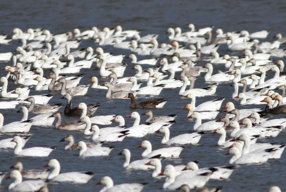 Greater White-fronted Goose among Snow Geese (Photo by Alex Lamoreaux)