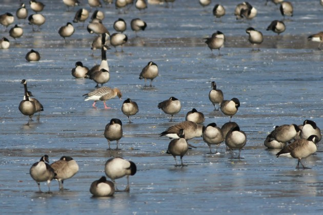 Pink-footed Goose among Canada Geese (Photo by Alex Lamoreaux)