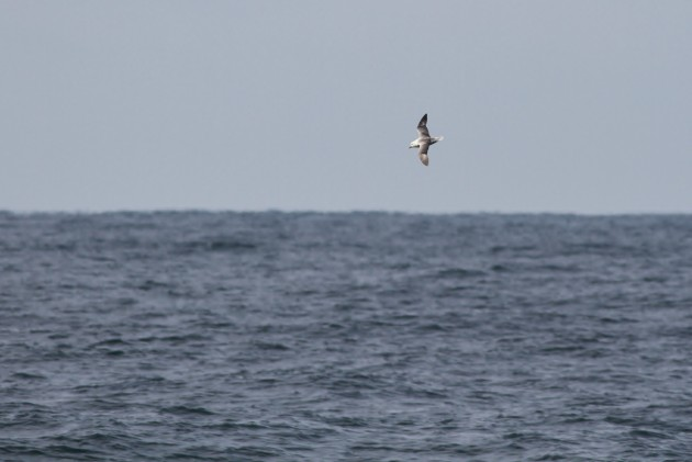 Light type Northern Fulmar (Photo by Alex Lamoreaux)