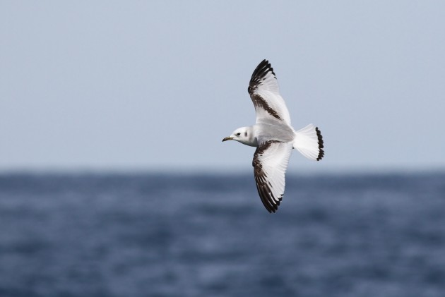 Juvenile Black-legged Kittiwake (Photo by Alex Lamoreaux)