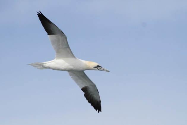 Adult Northern Gannet (Photo by Alex Lamoreaux)