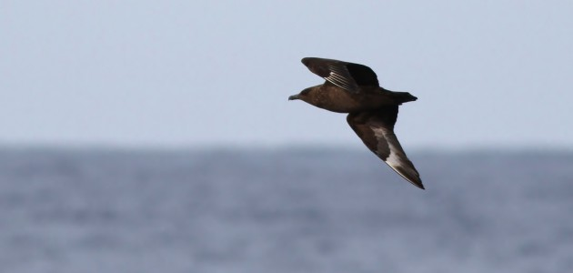 The mighty Great Skua passing the boat. (Photo by Alex Lamoreaux)