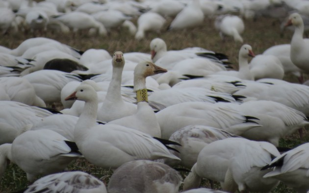Snow Goose with yellow neck-band (Photo by Tim Schreckengost)