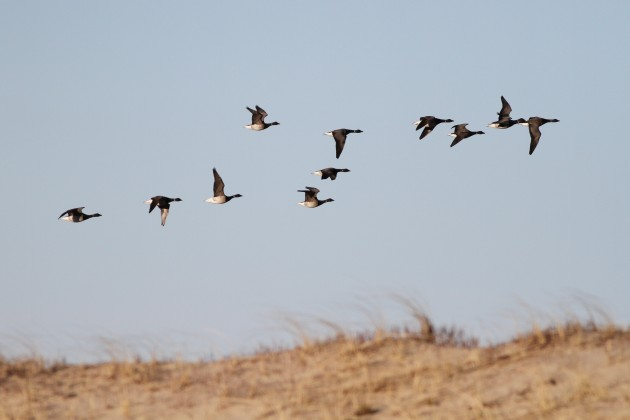 Atlantic Brant flying over the dunes at Race Point, Cape Cod (Photo by Alex Lamoreaux)