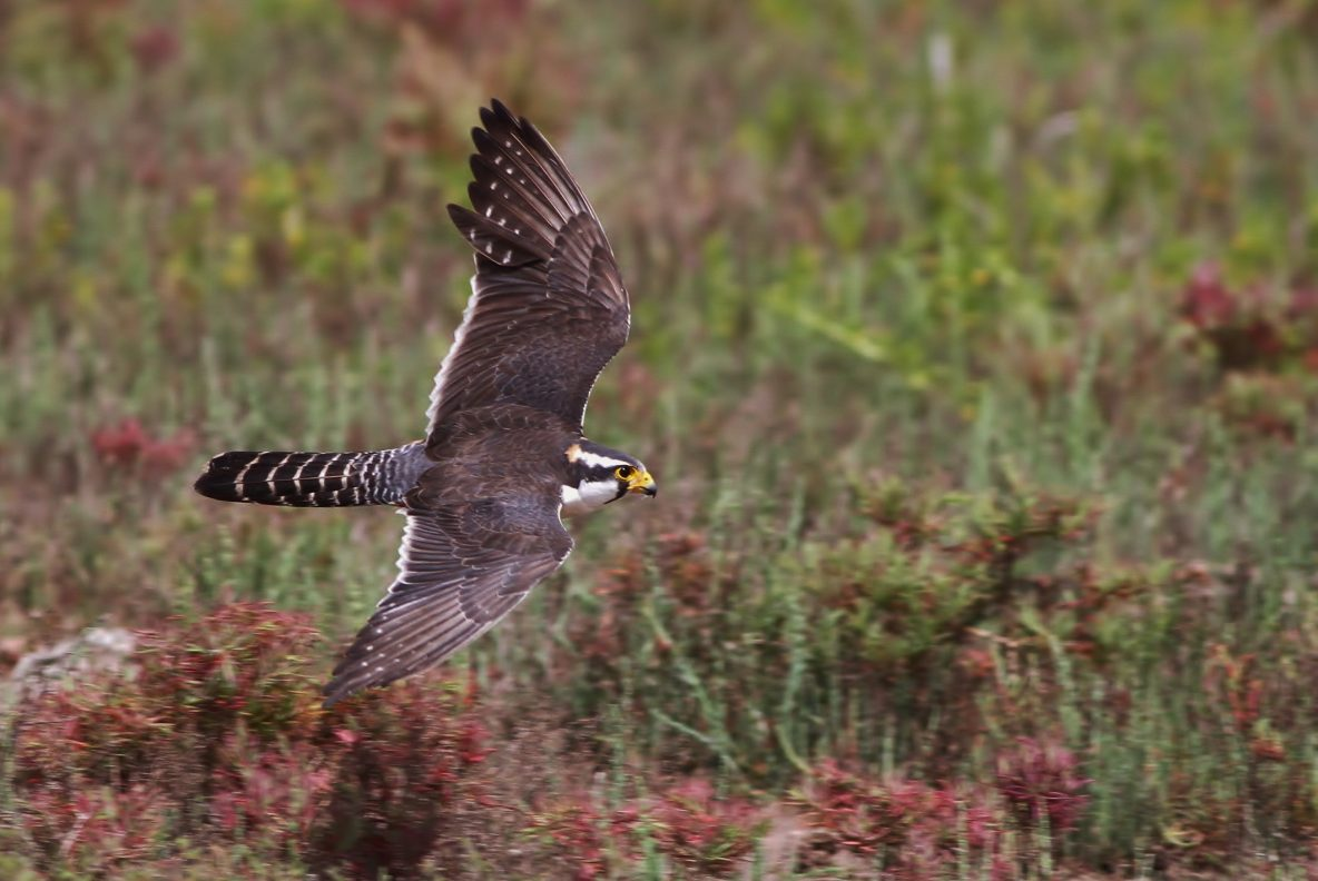 Molting adult Aplomado Falcon flying along Old Port Isabel Rd (Photo by Alex Lamoreaux)