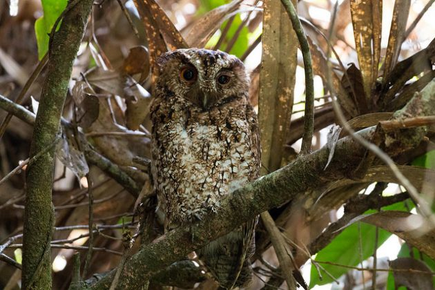 Rajah Scops Owl. Photo by Andy Boyce (Kinabalu Park, May 2016)