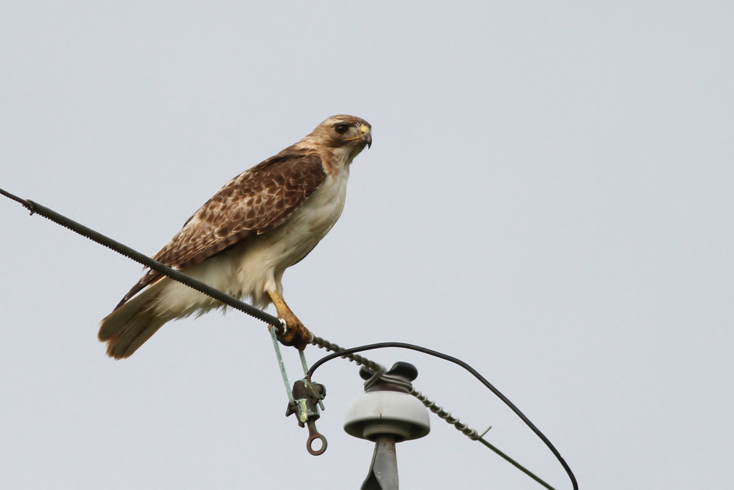 Heres A Typical Red Tailed Hawk From South Texas