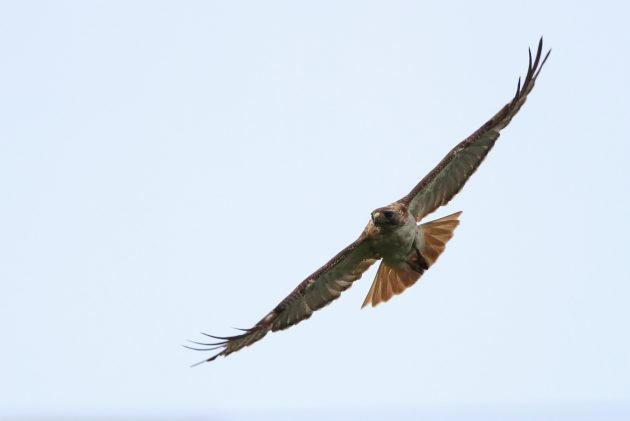 The same adult Fuerte's Red-tailed Hawk as shown above (Photo by Alex Lamoreaux)