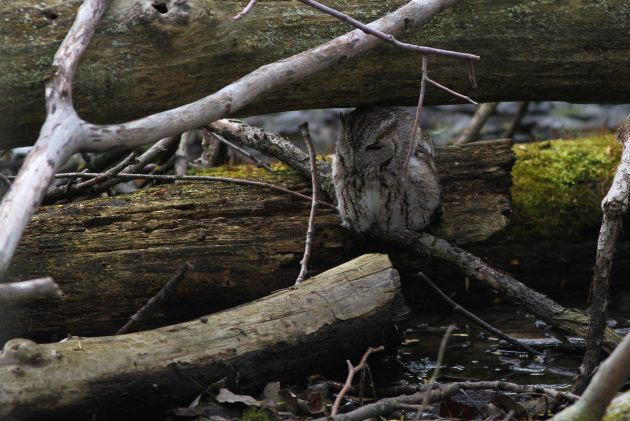 Gray type Eastern Screech-Owl that was roosting just a few inches off the water, under some logs one afternoon (Photo by Alex Lamoreaux)