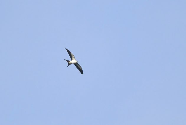 Immature Swallow-tailed Kite (Photo by Alex Lamoreaux)