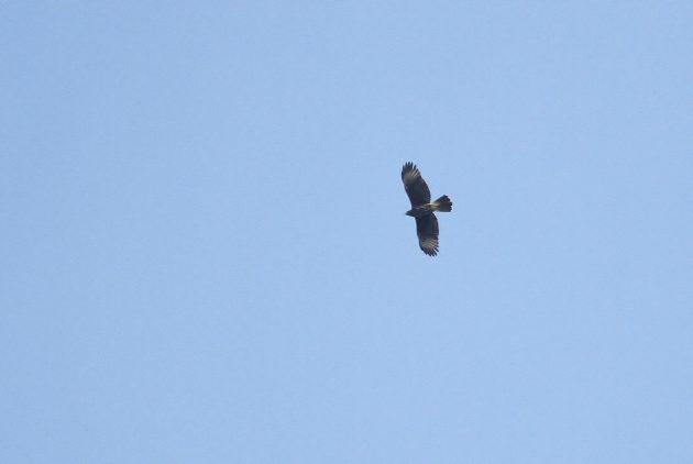 Immature Harris's Hawk soaring overhead (Photo by Alex Lamoreaux)