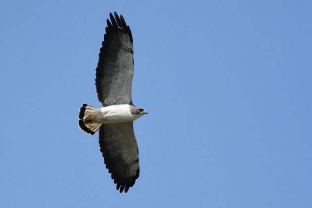 Adult White-tailed Hawk (Photo by Alex Lamoreaux)