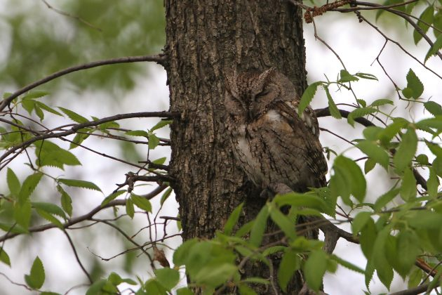 Brown type Eastern Screech-Owl roosting near its nestbox (Photo by Alex Lamoreaux)
