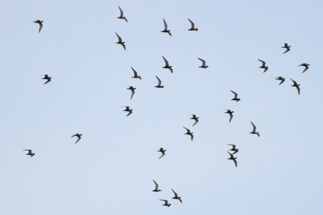 Flock of American Golden-Plovers (Photo by Alex Lamoreaux)