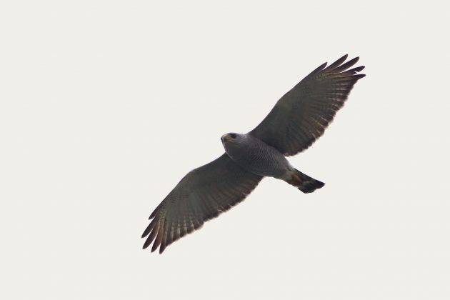 Adult Gray Hawk gliding low overhead during a foggy morning at Chapeno (Photo by Alex Lamoreaux)