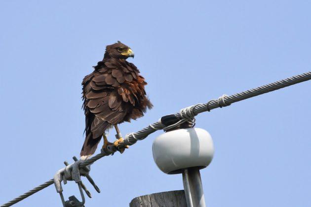 Harris's Hawk with leg band (Photo by Alex Lamoreaux)
