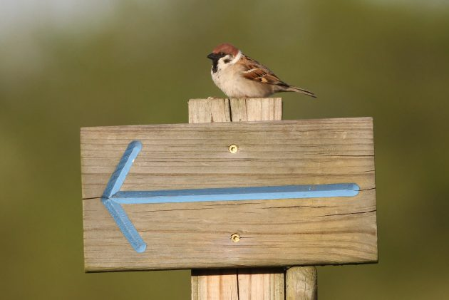 Eurasian Tree Sparrow showing me the way (Photo by Alex Lamoreaux)