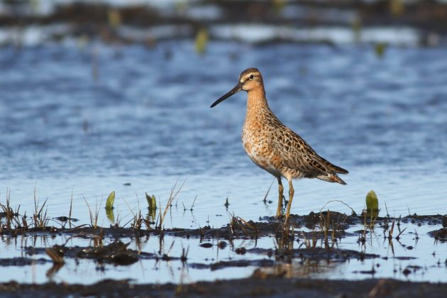 Short-billed Dowitcher (Photo by Alex Lamoreaux)