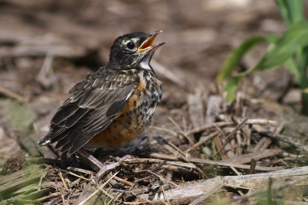 Fledgling American Robin (Photo by Alex Lamoreaux)